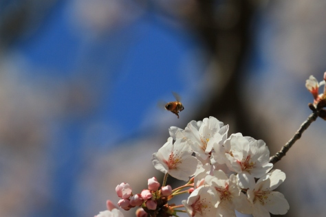 Bee and Sakura